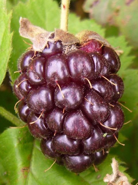 ボイセンベリー 熟した果実