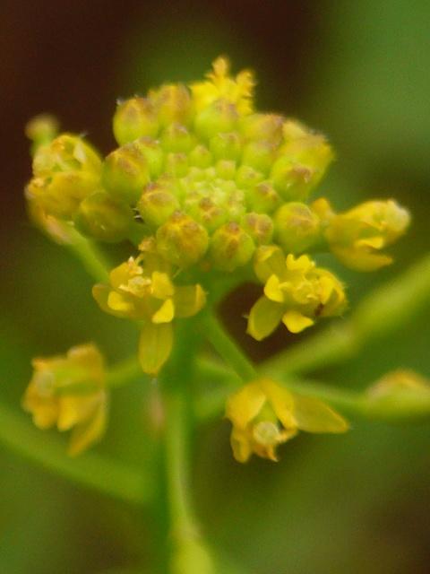 スカシタゴボウ 花序