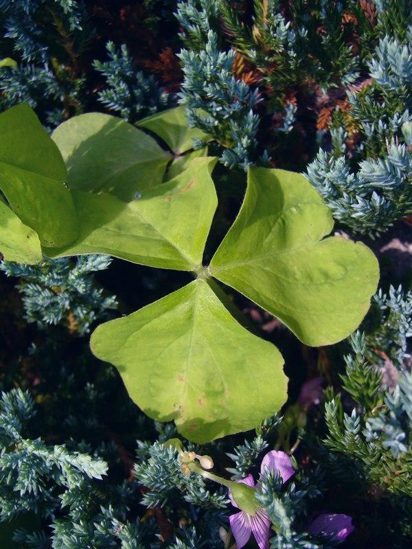 ムラサキカタバミ 葉