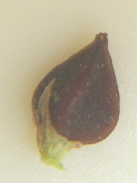 ハイミチヤナギ 種子