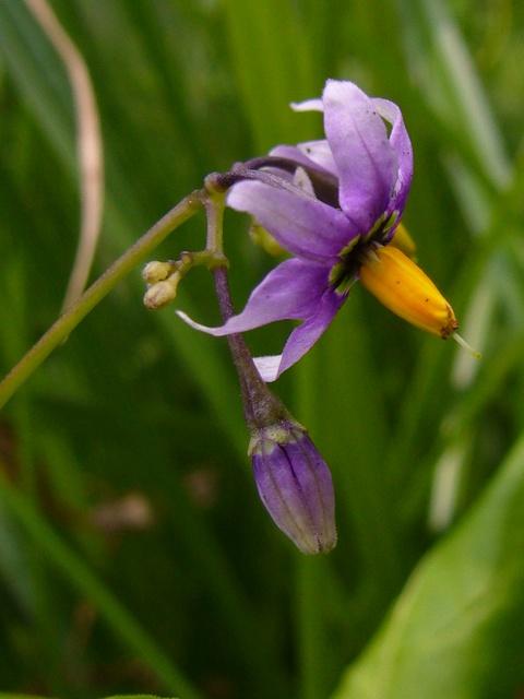 オオマルバノホロシ 花