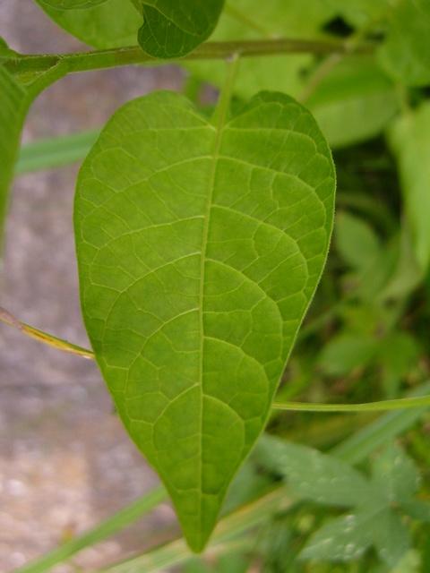 オオマルバノホロシ 葉