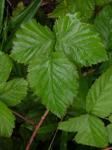 ボイセンベリー 葉