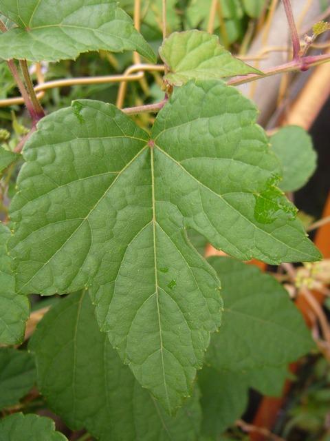 ノブドウ 葉