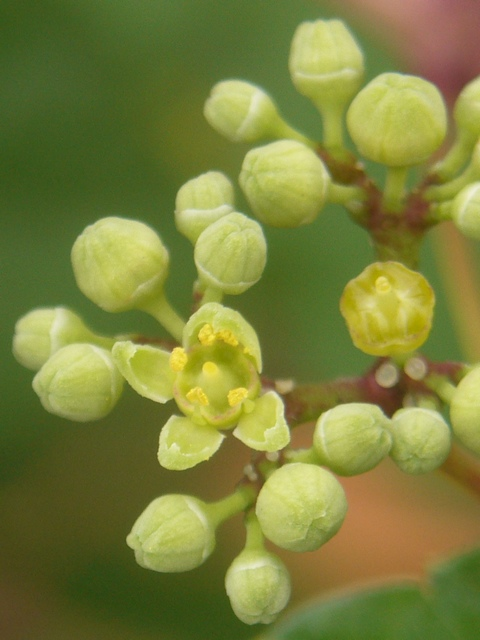 ノブドウ 花
