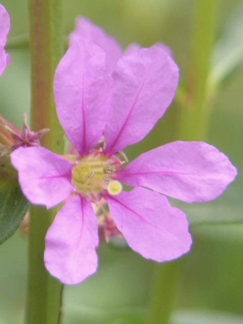 ミソハギ 花
