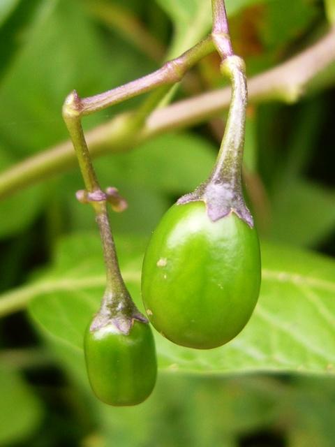 オオマルバノホロシ 果実