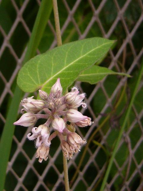 ガガイモ 蕾の花序