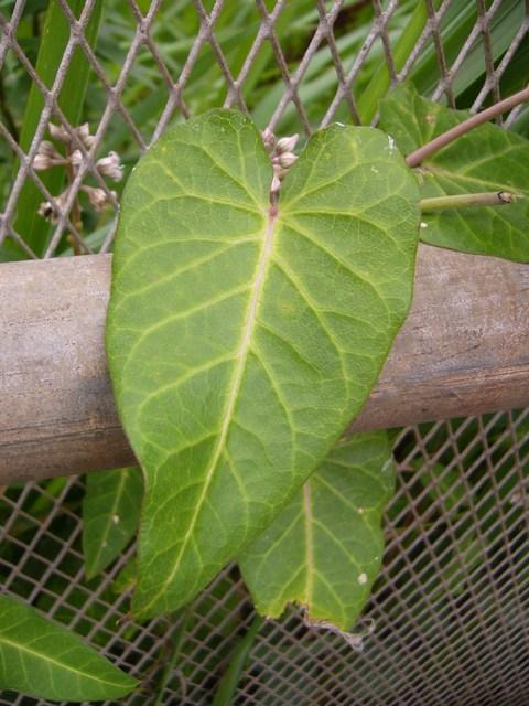 ガガイモ 葉