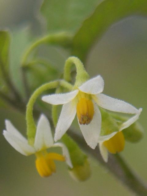 テリミノイヌホオズキ 花