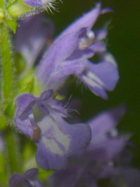 ケブカアキノタムラソウ 花の拡大