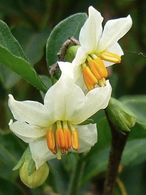 タマサンゴ 花