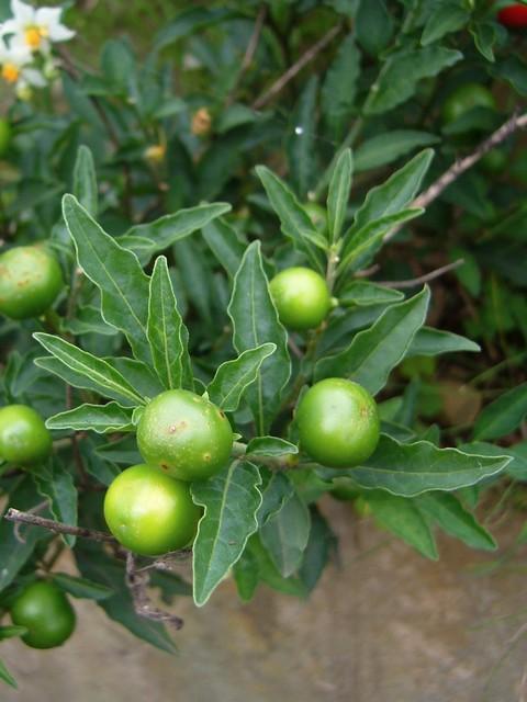 タマサンゴ 葉と若い果実