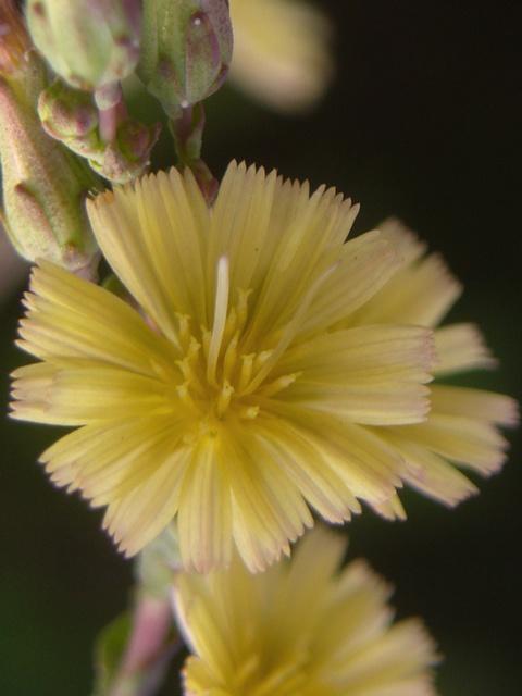 トゲチシャ 花
