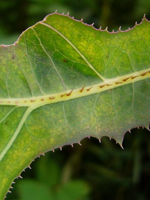 トゲチシャ 下部の葉の葉裏