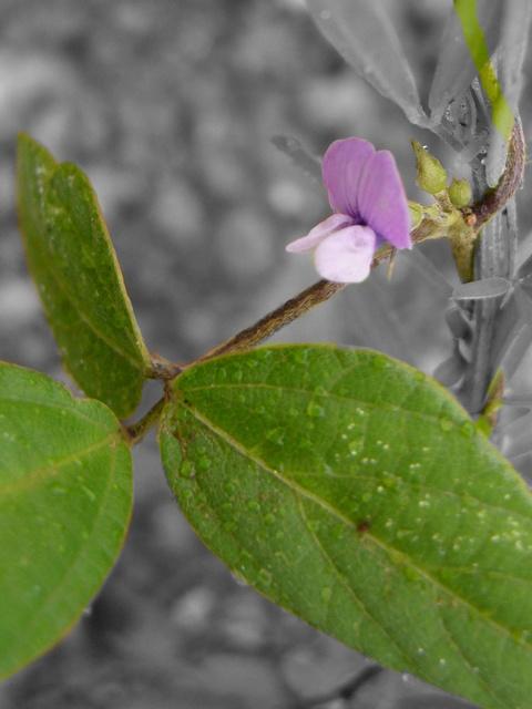 ツルマメ 花