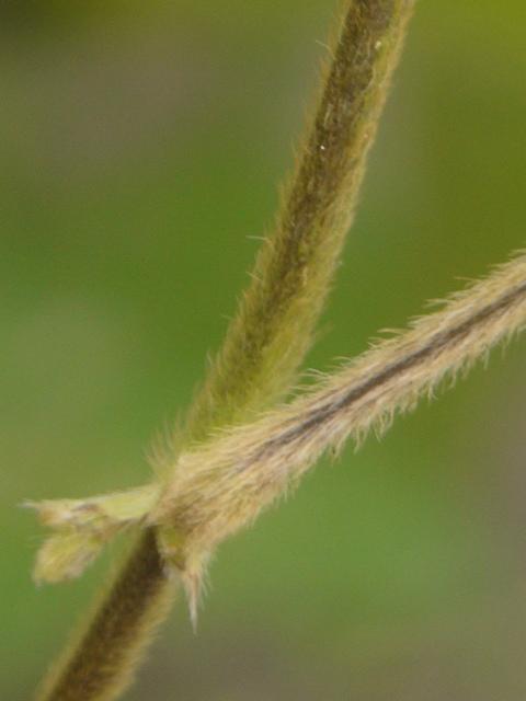 ツルマメ 茎