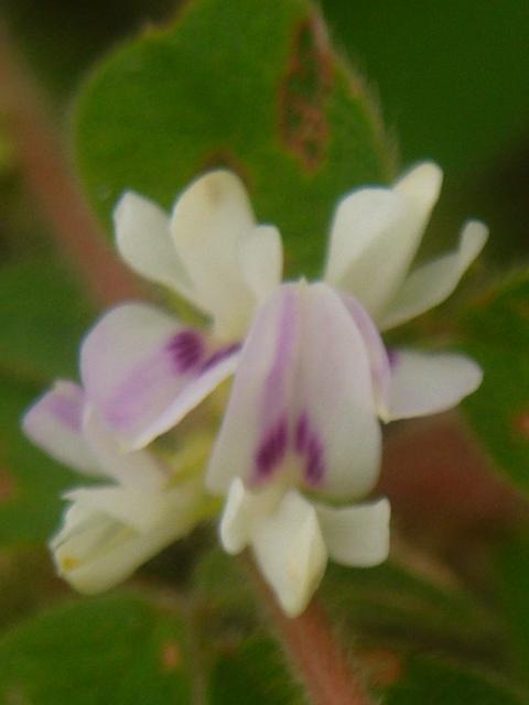 ネコハギ 花