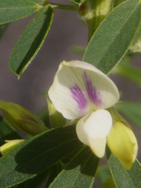 メドハギ 花