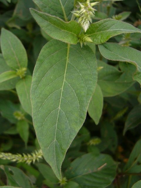 ヒナタイノコヅチ 葉