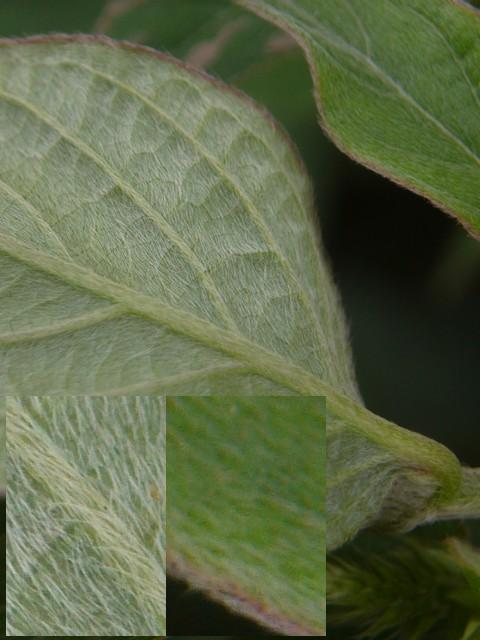 ヒナタイノコヅチ 葉の毛