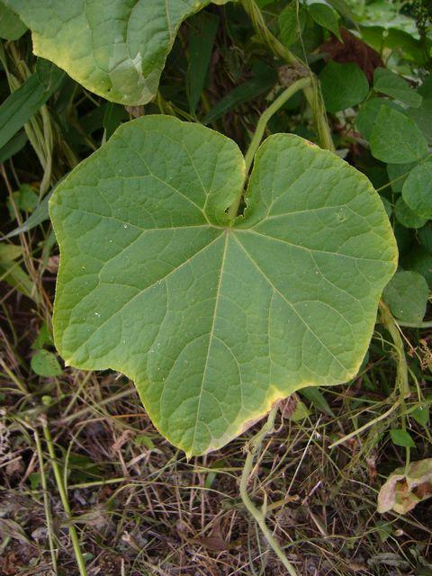 アレチウリ 葉