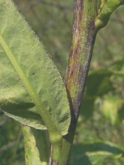 アキノノゲシ 茎