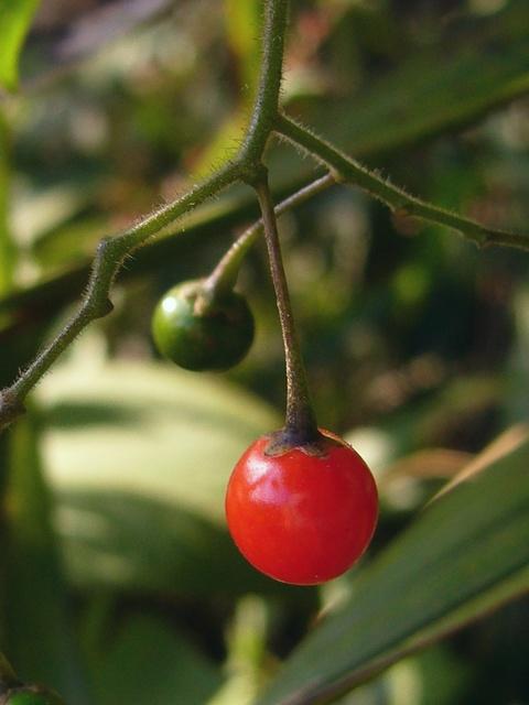 ヒヨドリジョウゴ 熟した果実