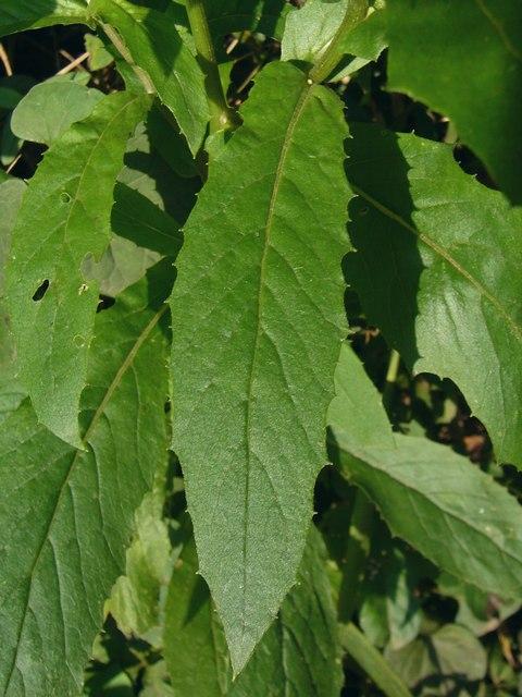 ダンドボロギク 小型個体の葉