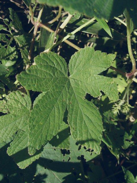 カナムグラ 葉