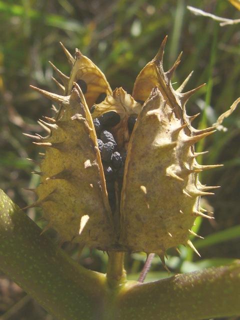 ヨウシュチョウセンアサガオ 熟果と種子