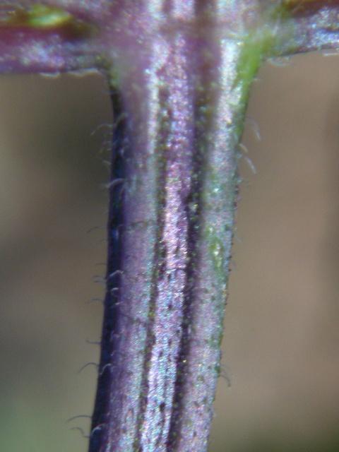 レモンエゴマ 茎