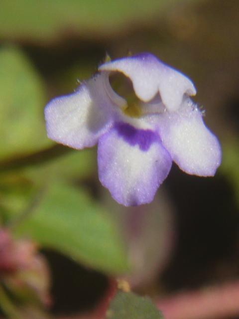 ウリクサ 花