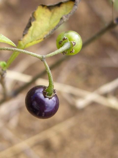 テリミノイヌホオズキ 果実