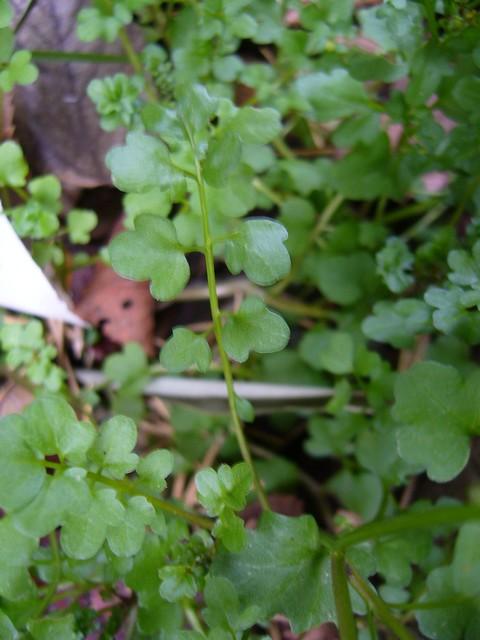 アキノタネツケバナ 葉