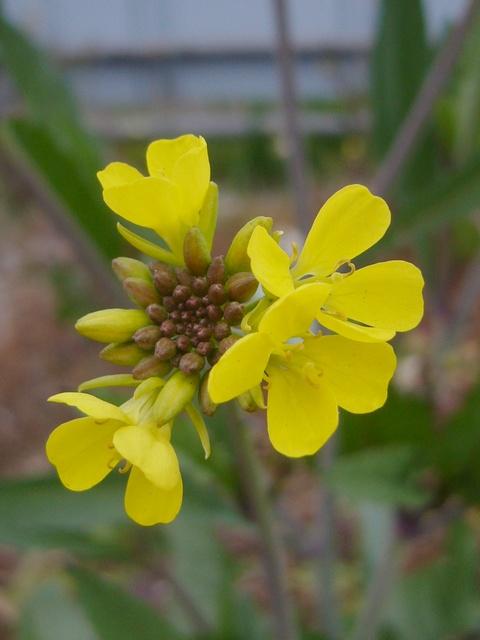 セイヨウカラシナ 花