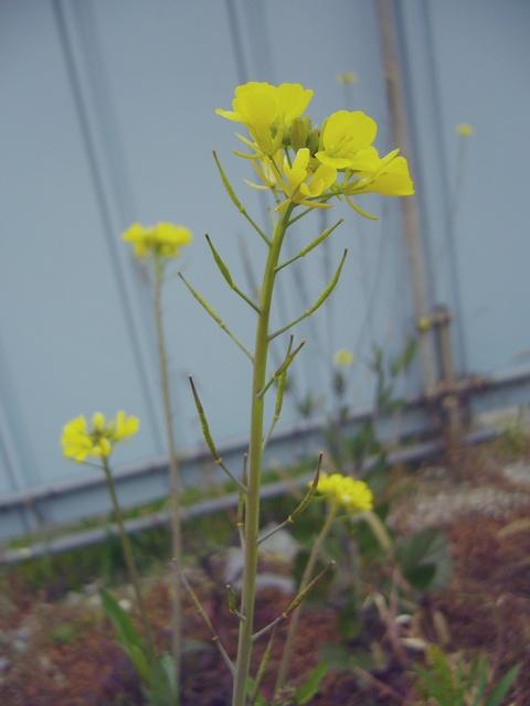 セイヨウカラシナ 花序