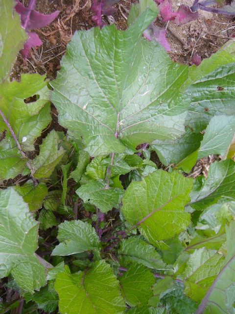 セイヨウカラシナ 下の葉