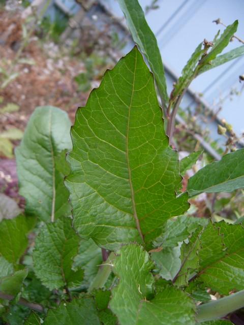 セイヨウカラシナ 上部の葉