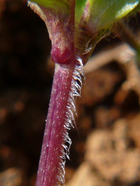 イヌコハコベ 茎の列毛