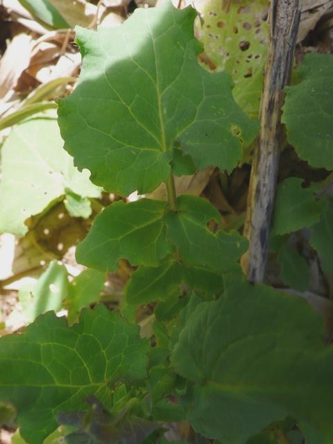 ショカツサイ 下部の葉