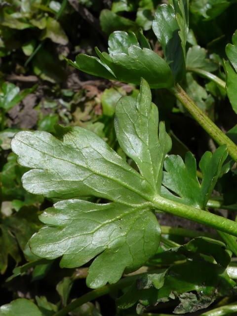 タガラシ 下部の葉の葉裏