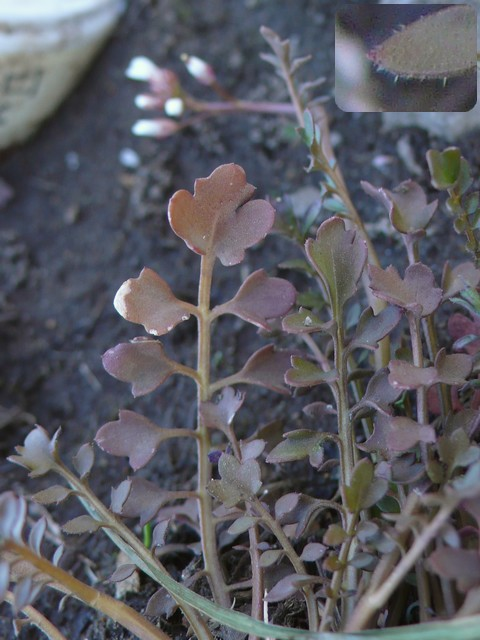 タネツケバナ 下部の葉