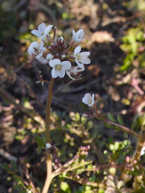 タネツケバナ 花序