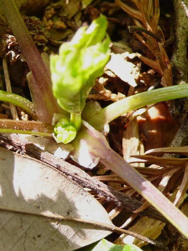 ウマノミツバ 幼生期葉柄基部