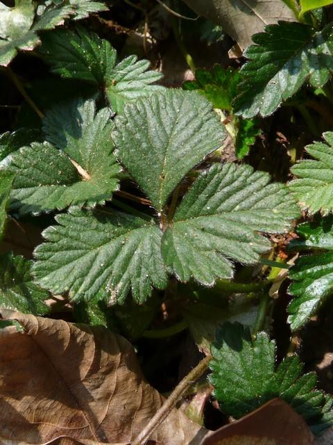 ヤブヘビイチゴ 葉