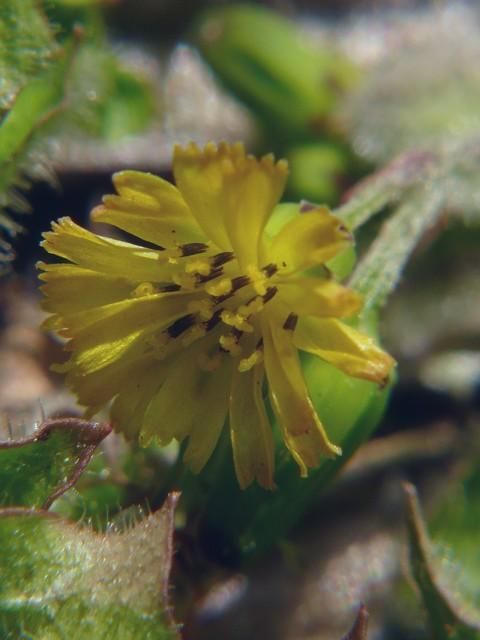 ヤブタビラコ 花の拡大