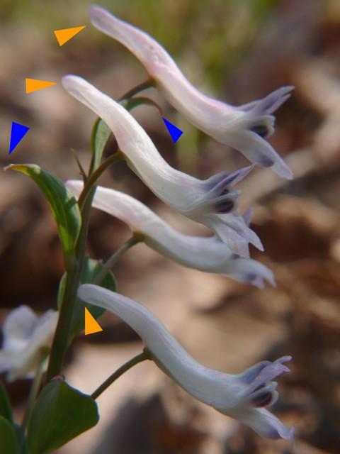 ジロボウエンゴサク 花の距と、苞の様子