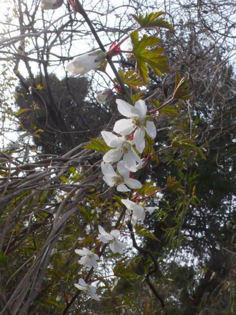 モミジイチゴ 花