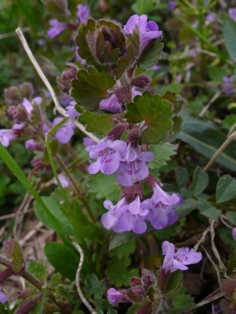 カキドオシ 花
